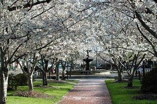 Cherry Blossom Trees - Macon has more cherry trees than Washington, D.C.